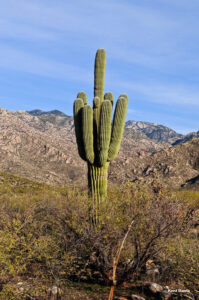 R-6 Saguaro - Reserved by anonymous donor