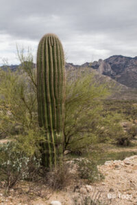 50-4 50-Year Trail... This saguaro enjoys a beautiful view in all directions... GPS coordinates: N 32.430311 W -110.925678