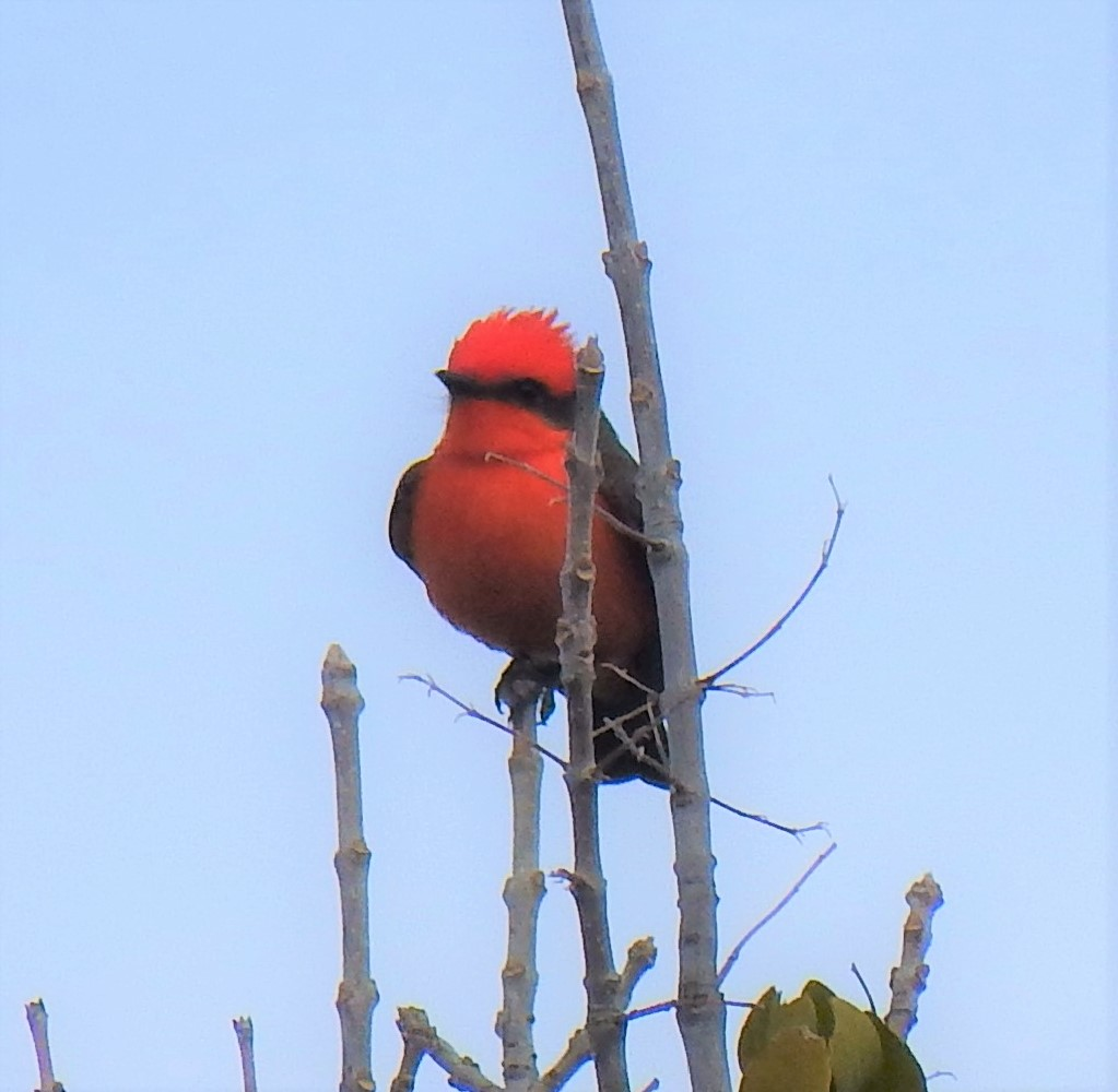 Picture of male Vermilion Flycatcher