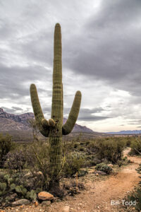 This Saguaro is reserved and waiting for a visit from Leta 'Tis' Carlson who spent her formative years in old Tuscon and still needs her desert fix every year. (50-15 adopted)