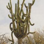 Grand Daddy Saguaro Br-7 Bridle Trail...GPS Coordinates: N 32.42568629 W -110.9141242