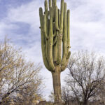 "Grand Daddy Saguaro Br-8 Bridle Trail... Location: North East side of trail... Description: ""Left Brain Cactus"" Single Trunk Saguaro With Many Arms Going Straight Up ...Saguaro Height: Approx. 40'... Number of arms: 15+ ... GPS Coordinates: N 32.42571982 W -110.9142175"
