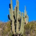 Grand Daddy Saguaro Br-5a Bridle Trail...GPS Coordinates: N 32.2531 W -110.5438